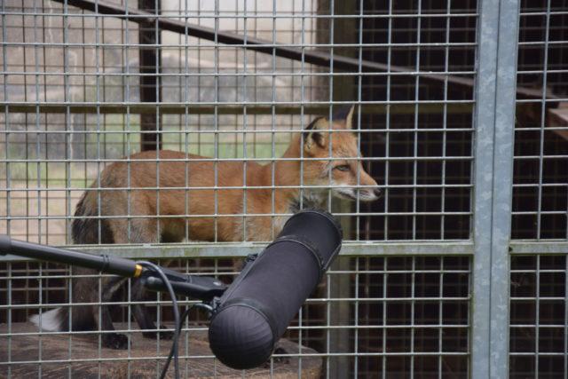 Die Fuchsbande